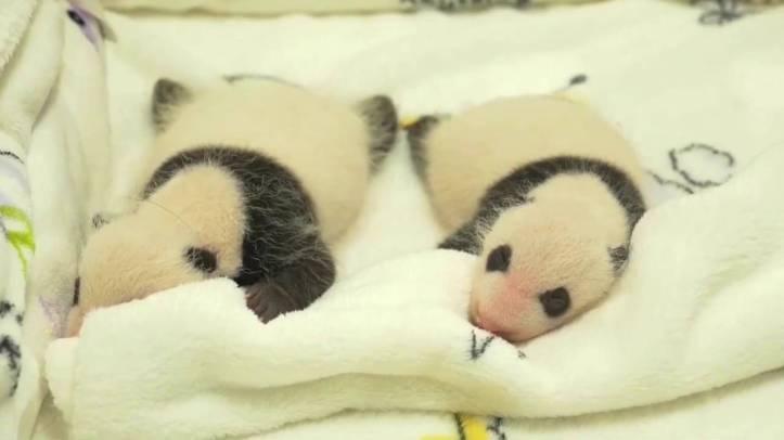 1-china-pandas