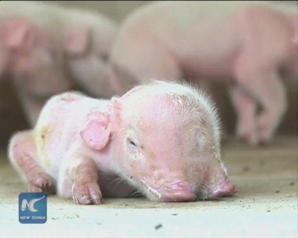 0-china-porco