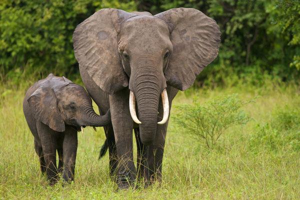 2a-elephants