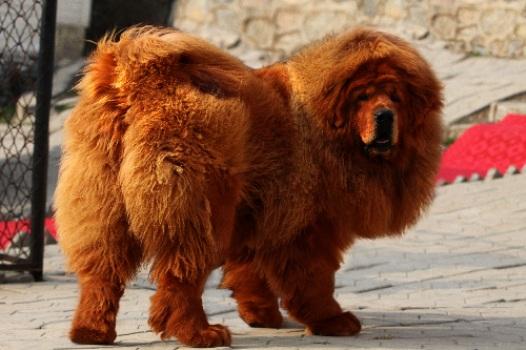 mastim-tibetano-o-cao-mais-caro-do-mundo1