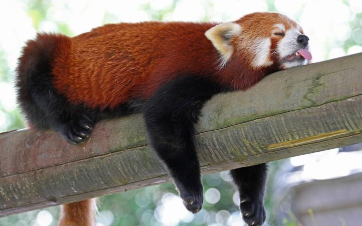3-red-panda