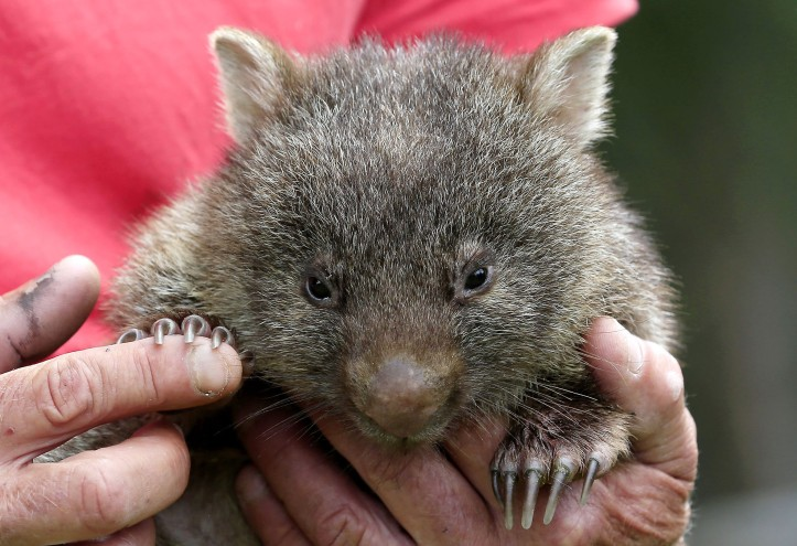 Wombat survival