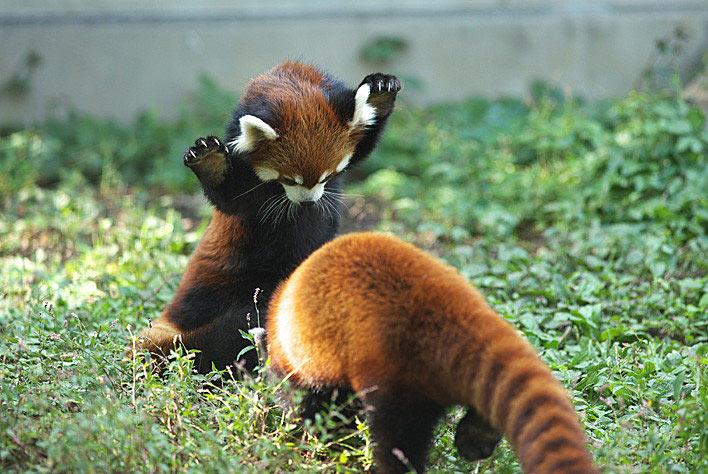 0-red-pandas