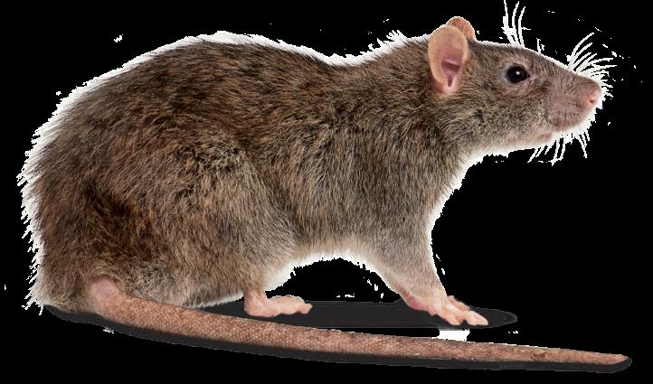 3.Rats.png